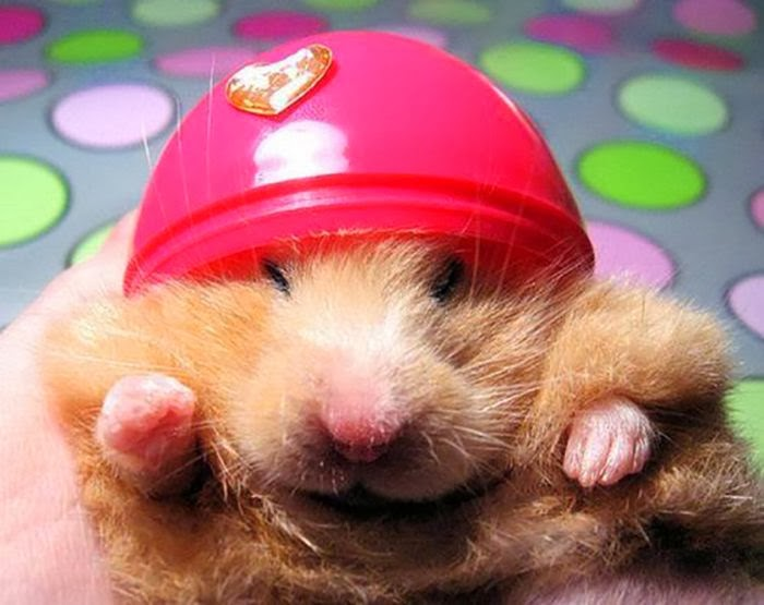 Funny animals of the week - 21 February 2014 (40 pics), cute hamster wearing tiny helmet