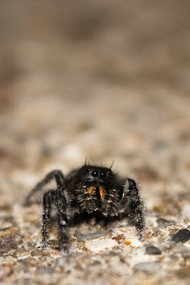 Michigan Spiders - Jumping Spider-4