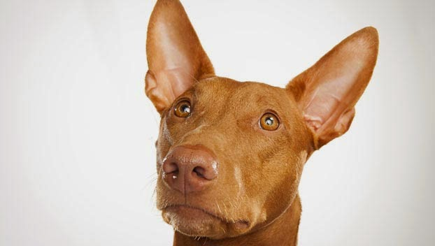 everything about your pharaoh hound luv my dogs
