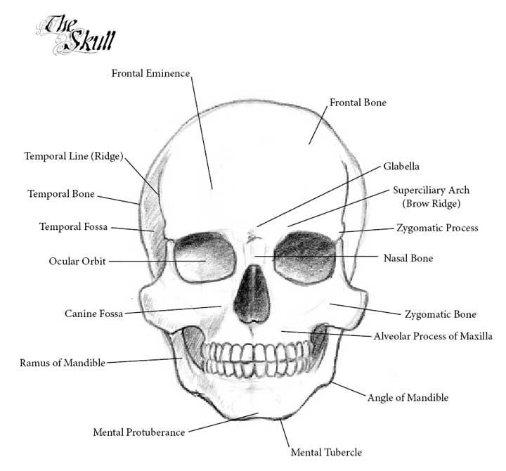 Basic Skull Diagram Unlabeled Wiring Library