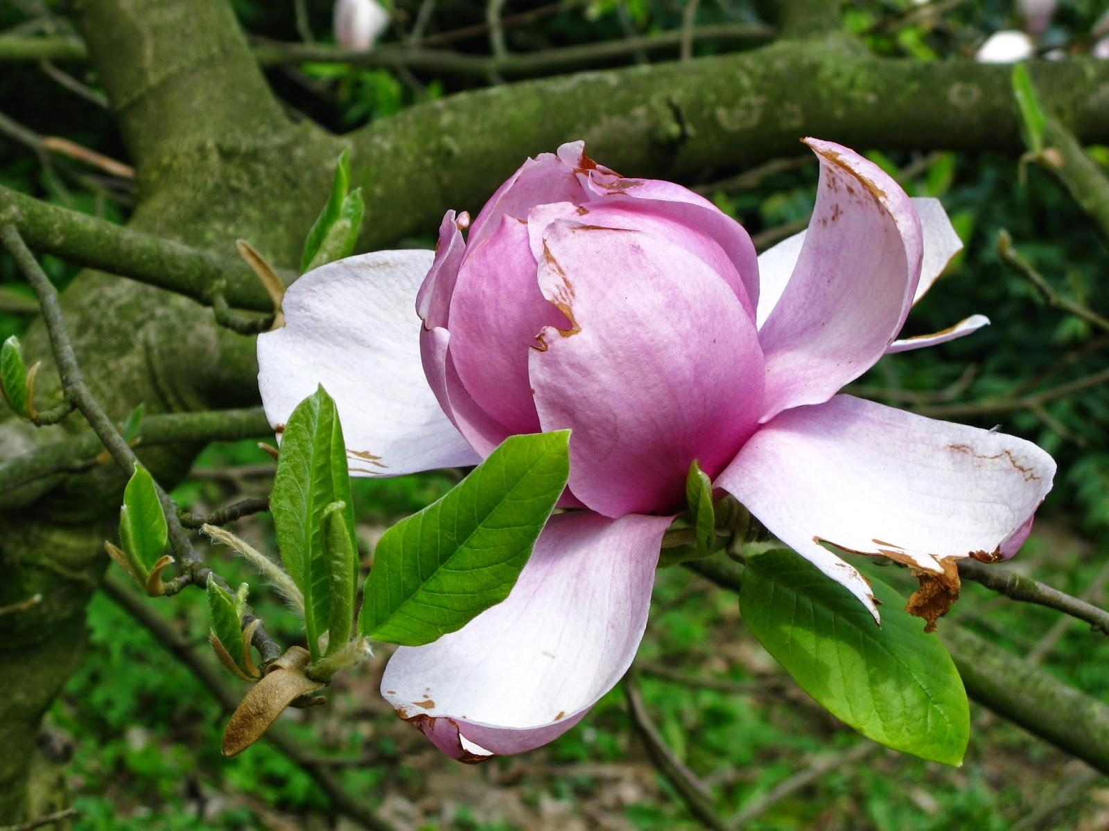 Magnolia - Arboretrum Rogów