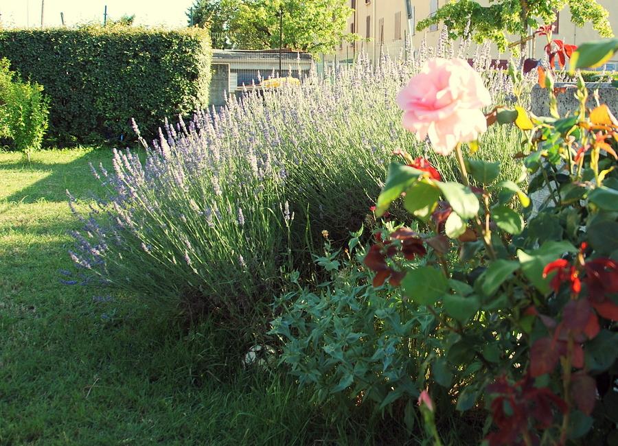 Il mondo in un giardino la lavanda nella storia e nel - Giardino con rose ...