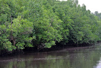 Mangrove of Turtle/Kamia bay