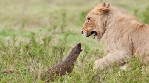 Γενναία μαγκούστα τα βάζει με τέσσερα λιοντάρια | Βίντεο