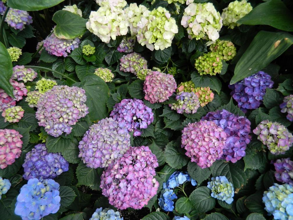 Allan Gardens Conservatory Easter Flower Show pink blue hydrangeas by garden muses: a Toronto gardening blog