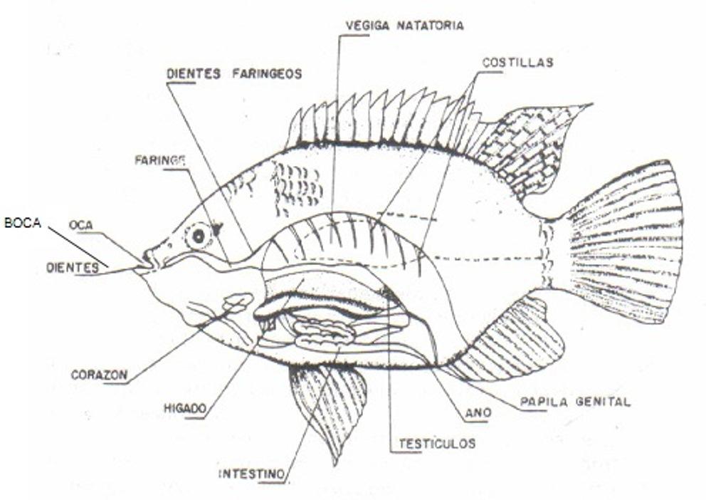 Atractivo Anatomía Externa De Tilapia Componente - Imágenes de ...