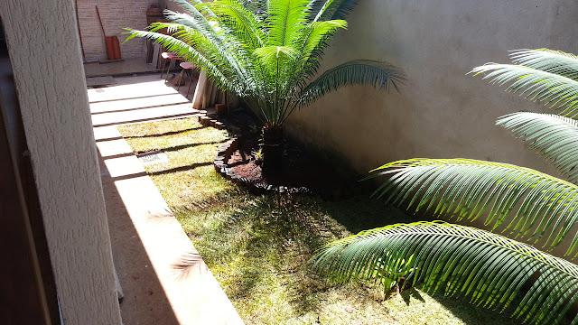 Arbusto dióico, semi lenhoso, tem as folhas muito macias e suavemente curvadas nas extremidades. O crescimento é muito lento e a planta tem uma vida muito longa.