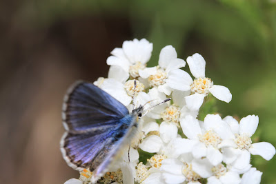 Plebejus idas - Northern Blue [Dorsal View] on Achillea millefolium - Yarrow