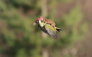 weasel riding on a bird, weasel riding on a woodpecker, funny animals