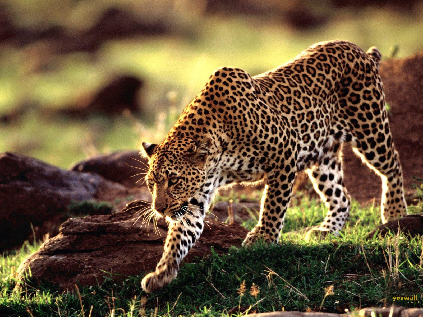 wild animals wallpaper