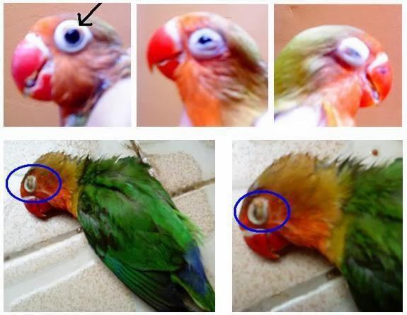 burung love bird terkena penyakit berak kapur segera pisahkan burung ...