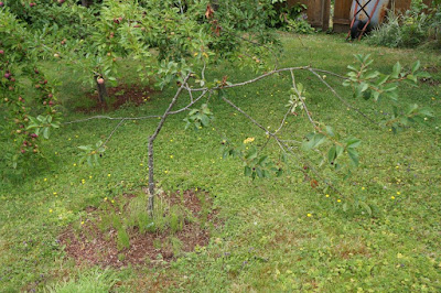 Broken sour cherry tree.