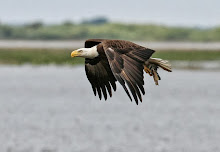 Bald Eagle, Florida