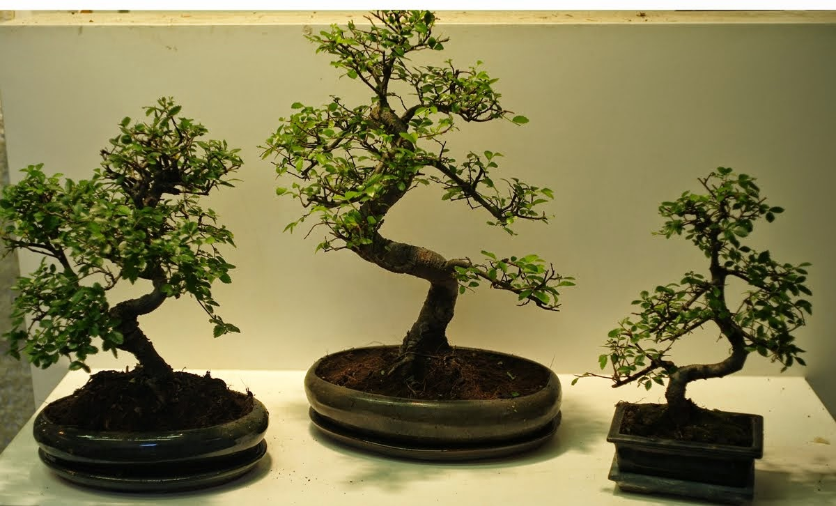Bonsai Shop Ireland