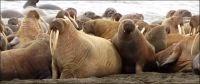 35,000 walrus on beach as arctic ice melts