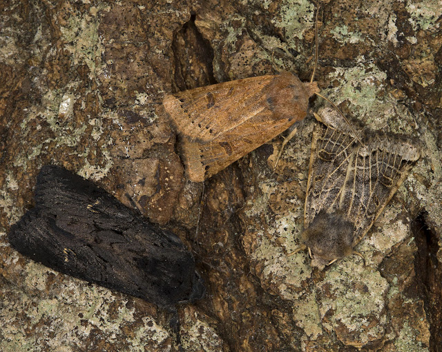 Two Lunar Underwings, Omphaloscelis lunosa, and one Black Rustic, Aporophyla nigra.  Noctuids.   In my garden actinic light trap in Hayes on 16 September 2012.