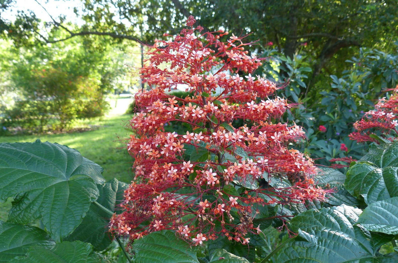 Pagoda Flower Clerodendrum | MOSI Outside