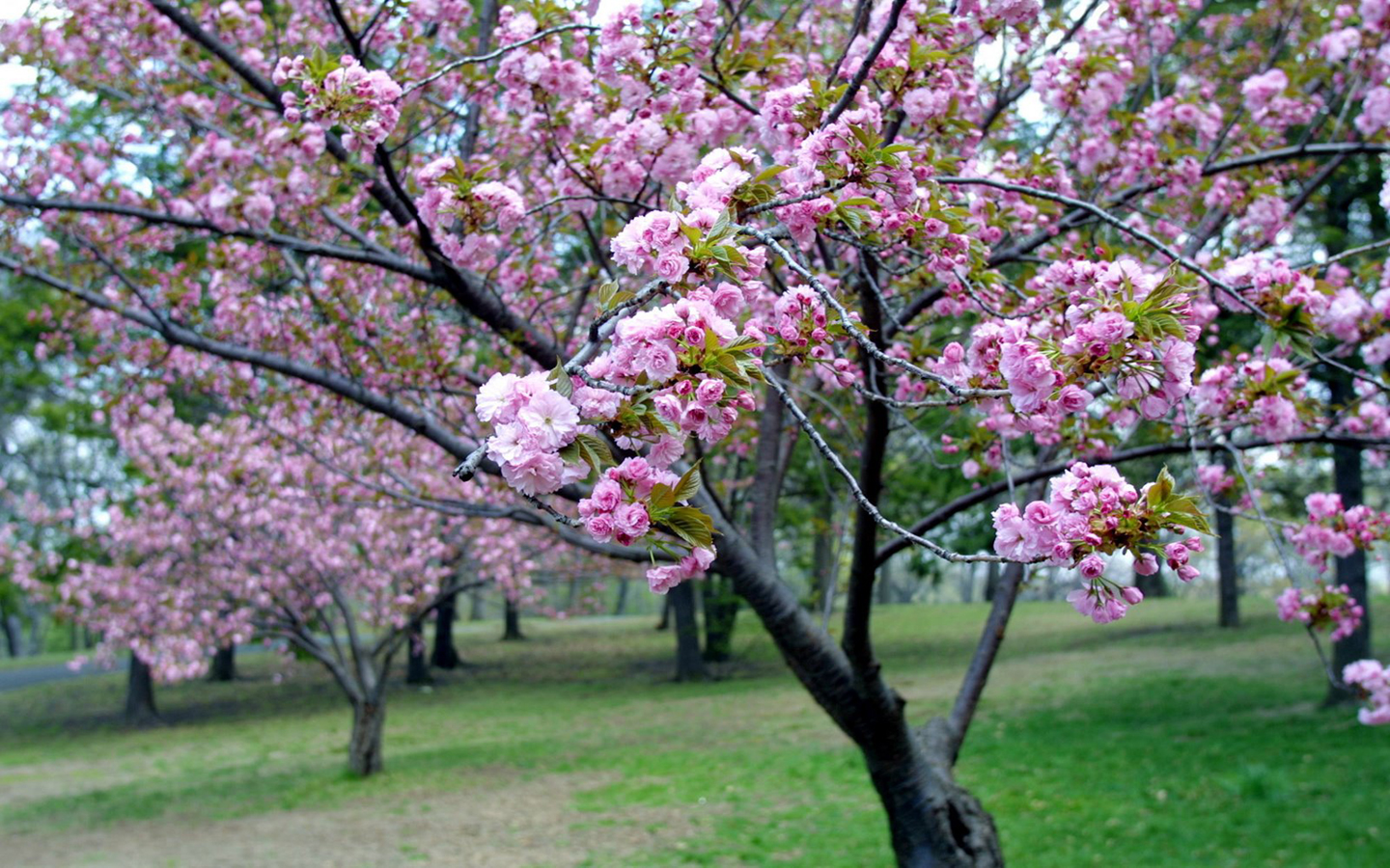 Pink Cherry Blossom Wallpaper Funny Amazing Images
