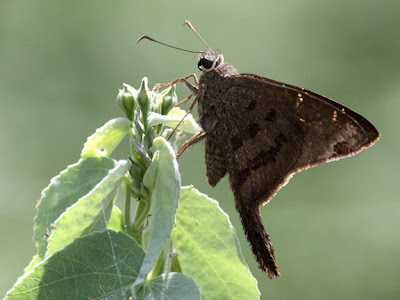 Brown Longtail Skipper