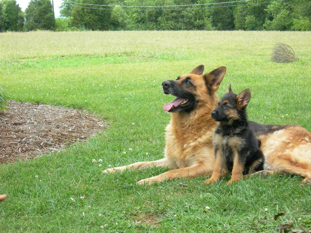 the german shepherd dog The german shepherd dog dog breed: among the most intelligent of breeds, the german shepherd dog is so intent on his mission whatever that may be and he is virtually.