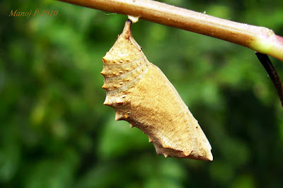 Pupa of Grey Pansy Butterfly