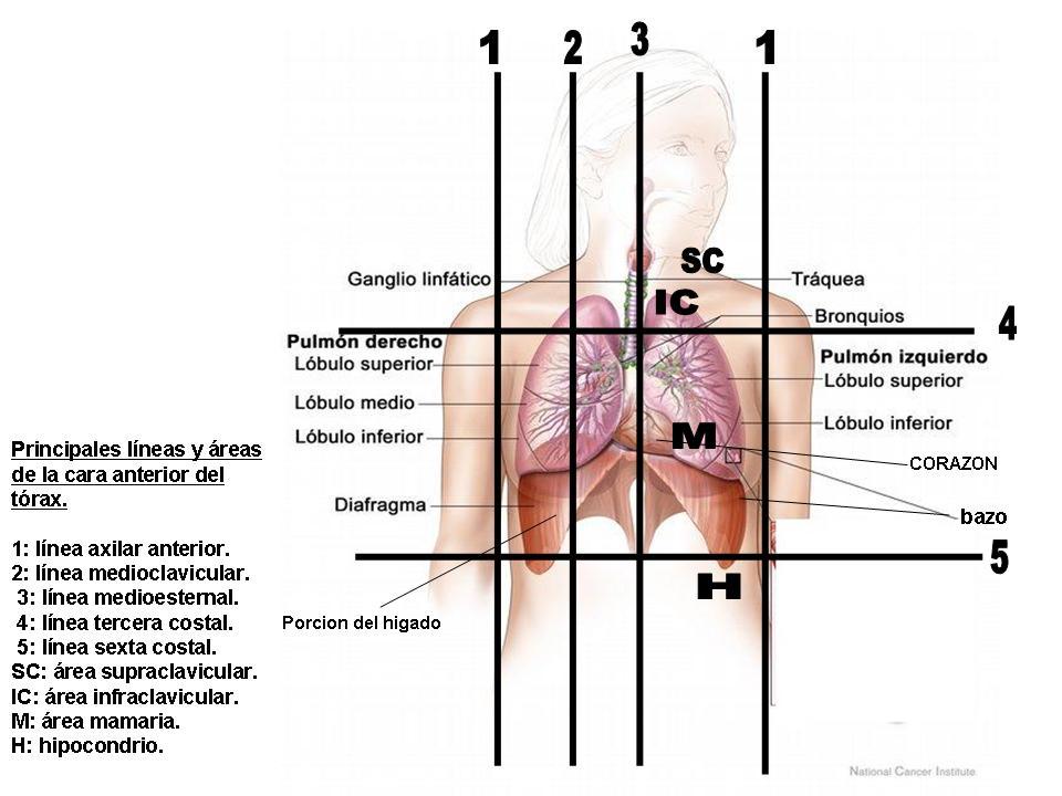 CONOCIMIENTOS BÁSICOS - NURSING: DIVISION TOPOGRAFICA DEL TORAX