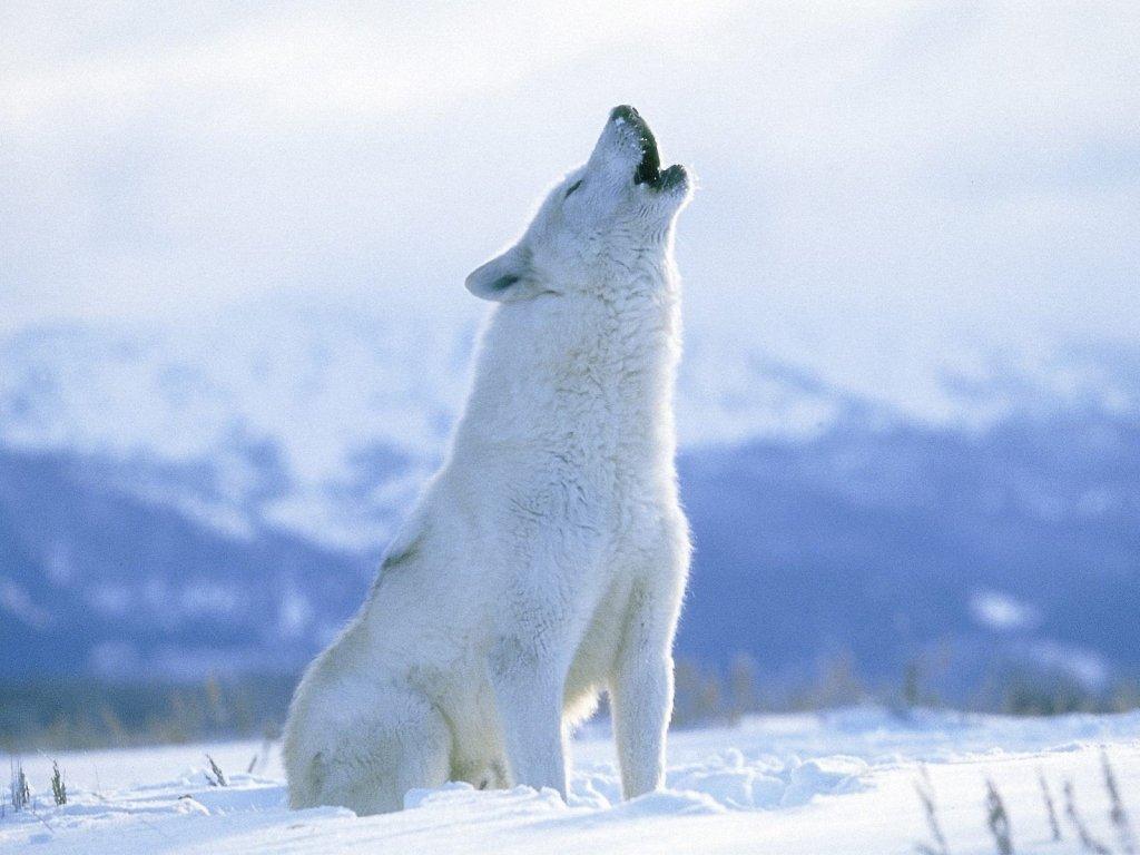 Arctic wolf in snow - photo#17