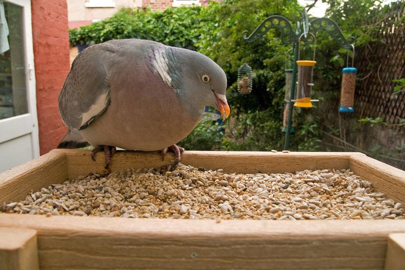 Fotos de palomas mensajeras de colores 16