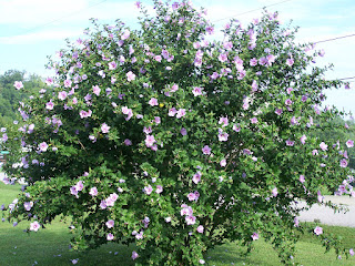 Writing in the Blackberry Patch Beautiful Rose of Sharon