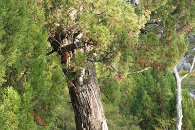 Pencil Pine (Athrotaxis cupressoides)
