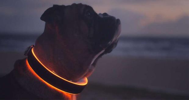 Buddy, The Dog Collar