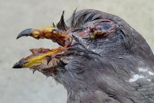 Wildlife Emergency Services Blog Band Tailed Pigeon Die
