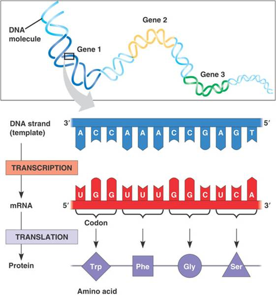 basic genetics worksheet