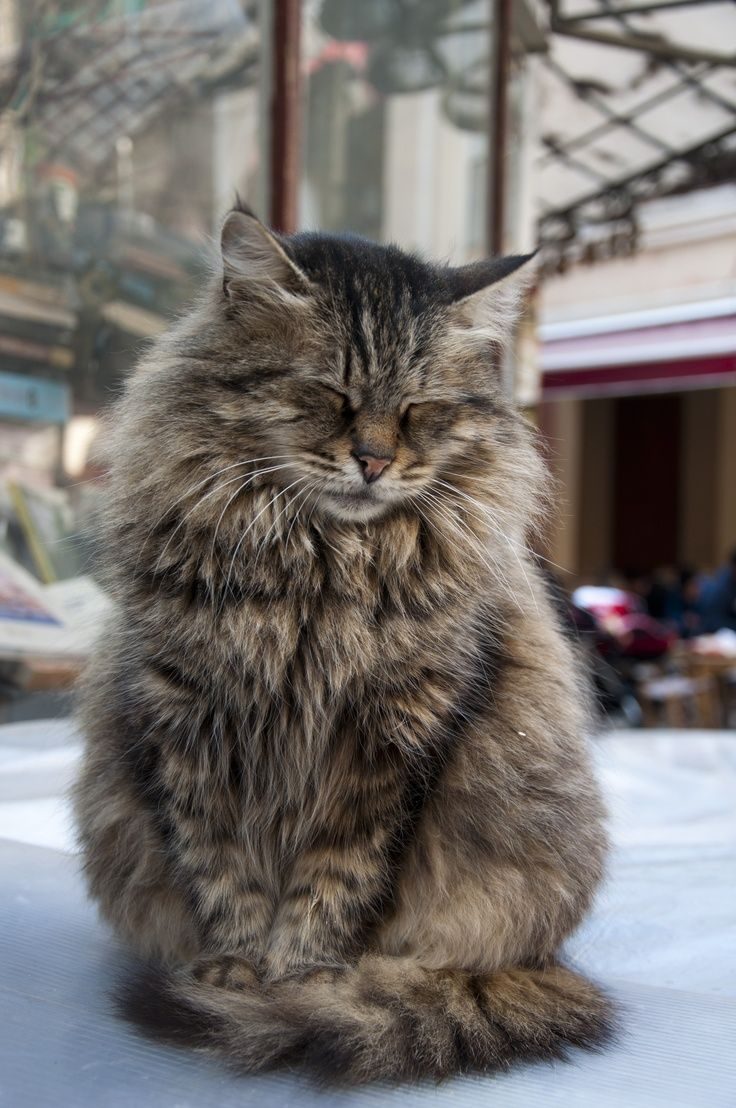 Top 10 Cat Breeds With Long Hairs