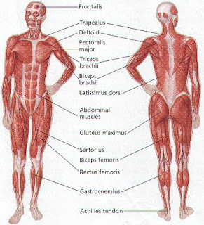Anatomy of the body november 2011 build the prefect body muscles ccuart Images