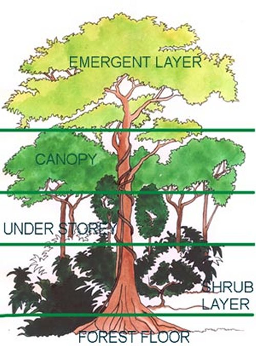 Trees ESL Resources – Layers of the Rainforest Worksheet