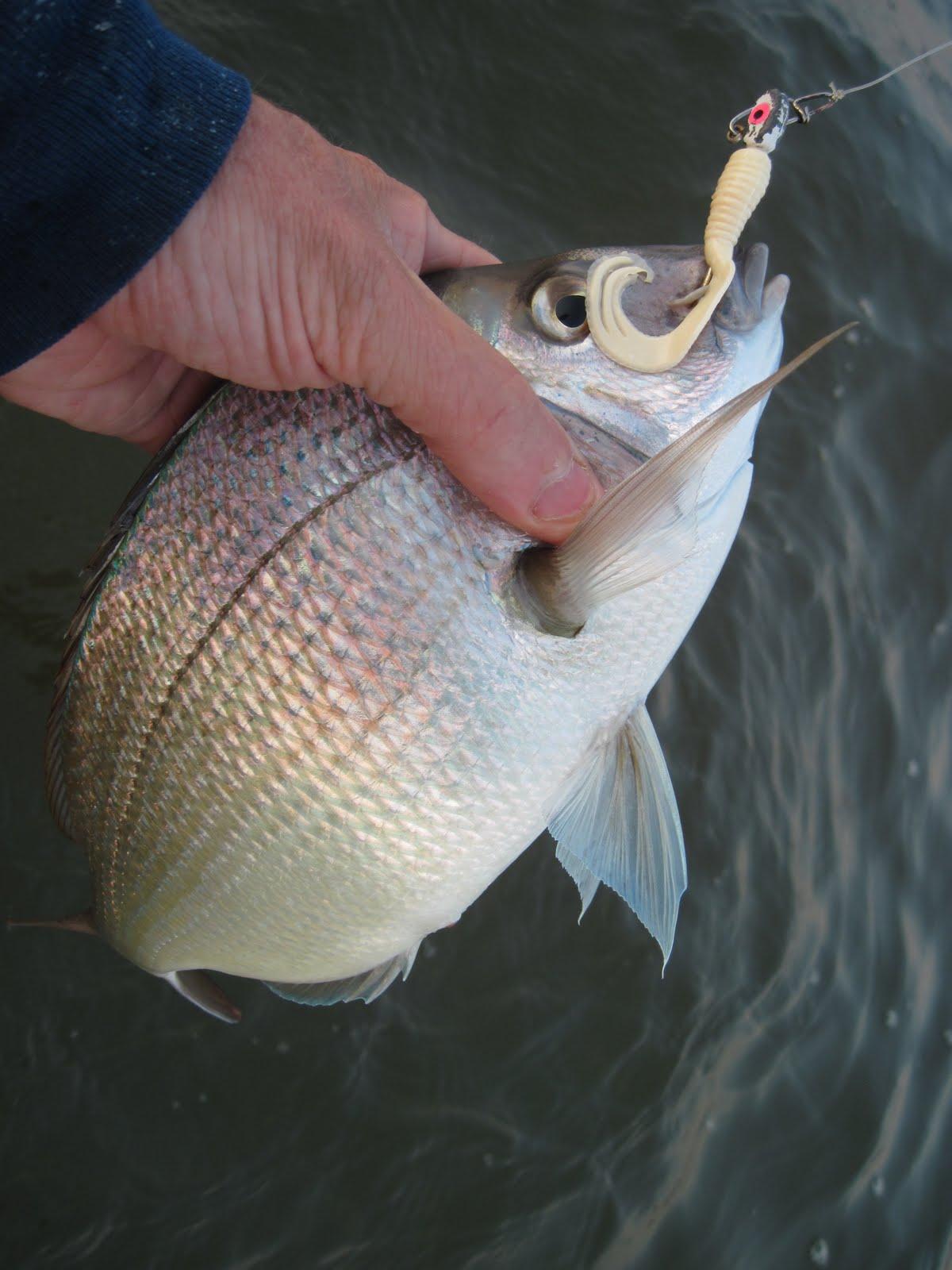 Rhode Island Striped Bass: Dinner Plate Scup