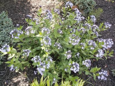 Amsonia Ciliata Seeds Amsonia Ciliata Downy Blue