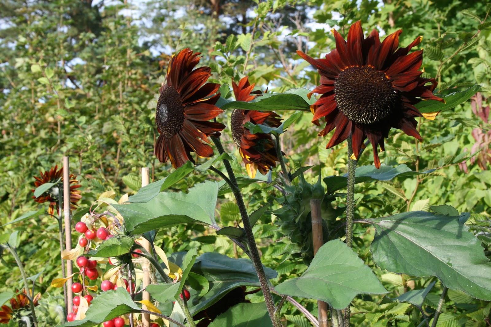 odla solrosor helianthus annuus