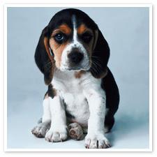 Basset Hound Puppies Pictures