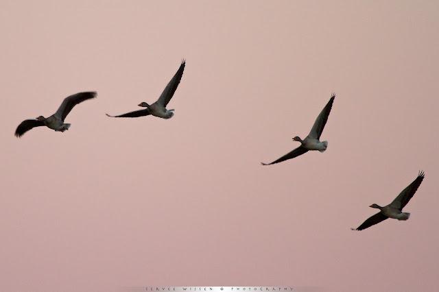 Grauwe Ganzen bij ochtendlicht - Greylag Geese @ dawn [Anser anser]