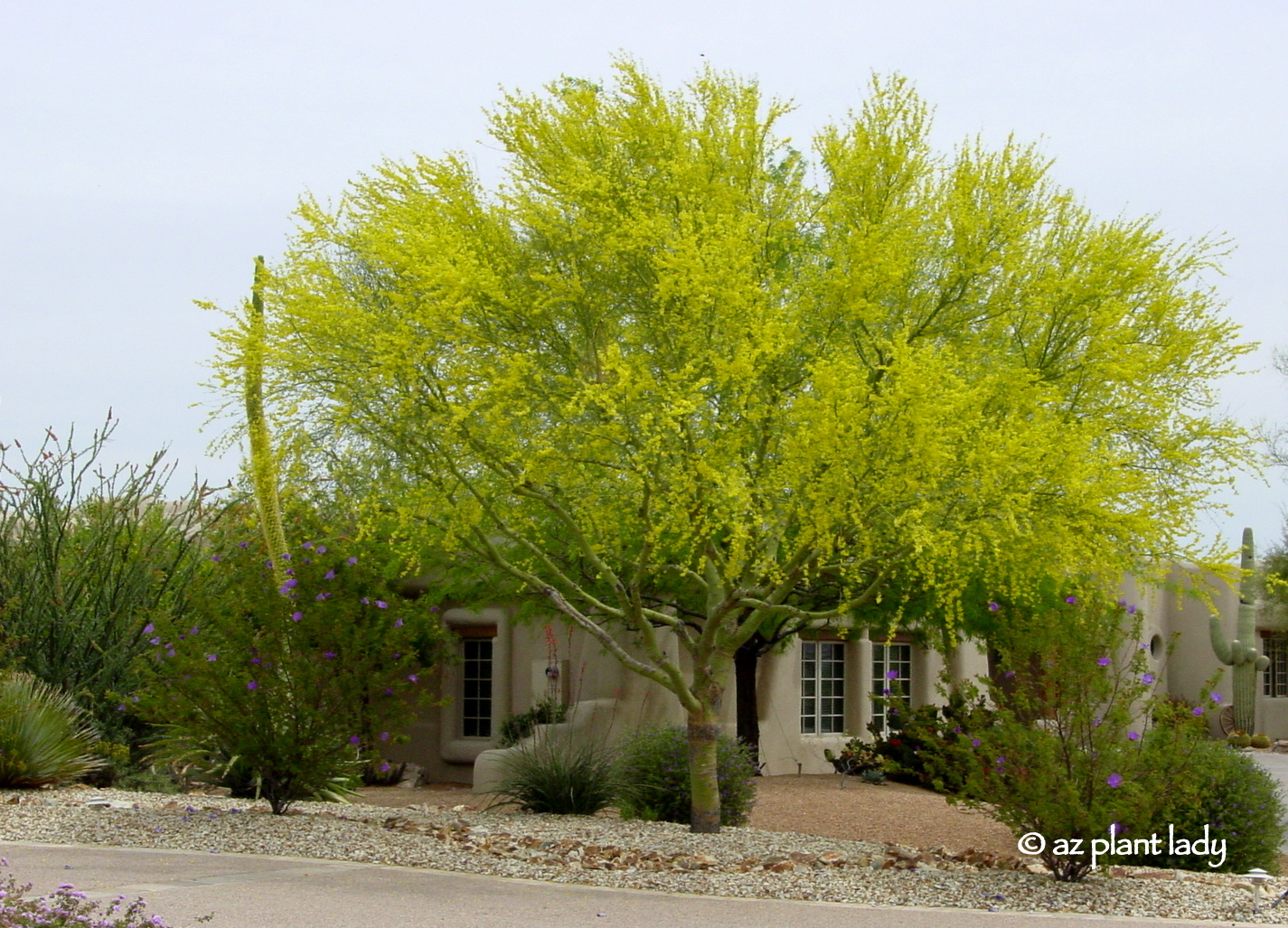 Learn About The Deserts Iconic Tree The Palo Verde
