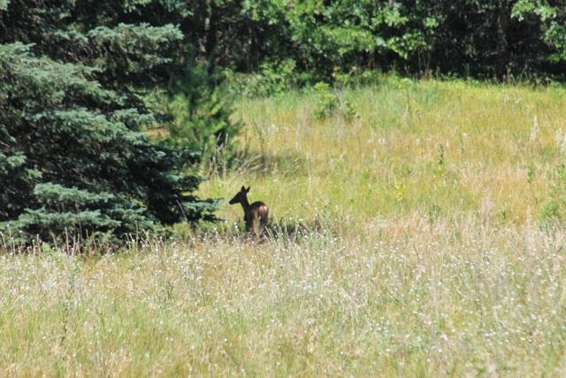 whitetail doe in Summer