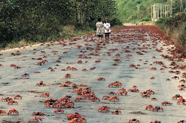 red crab migration 1%5B2%5D هجرة سرطان البحر ، حين تجد مدينتك تكسوها هذه الكائنات ، فيلم رعب على أرض الواقع