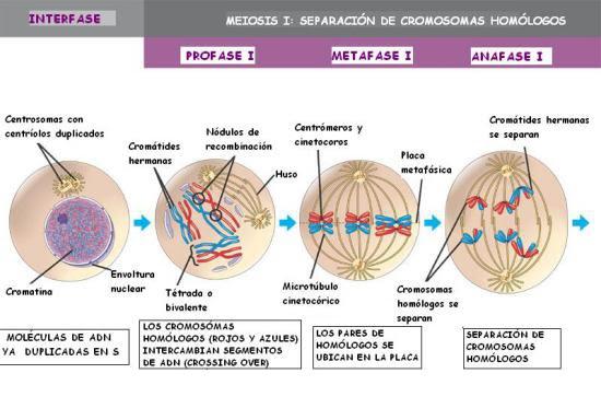 Meiosis 1-Eventos