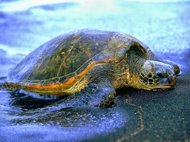 черепаха вылазит на берег