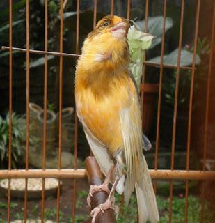 perawatan burung kenari mabung