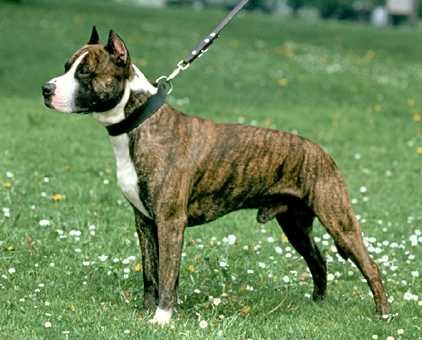 American Pit Bull Terrier | Wild Life Animal