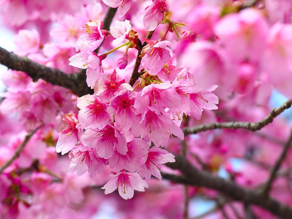 sakura flor Eqiiz flor cerezo japones ave
