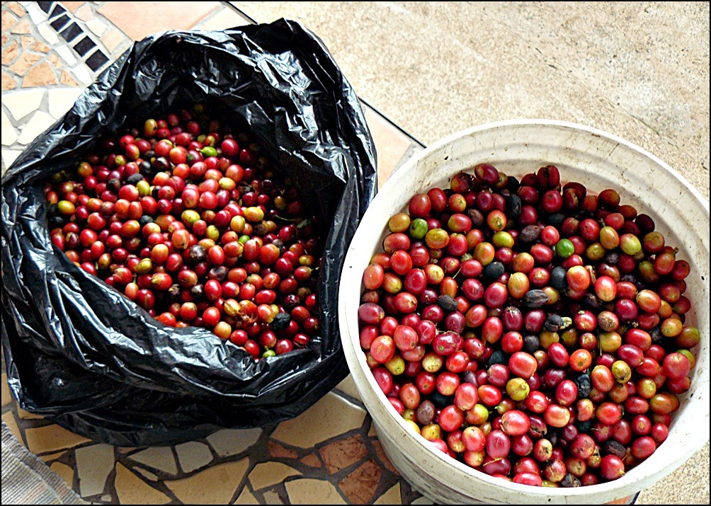 bucket and bag of freshly picked coffee cherries